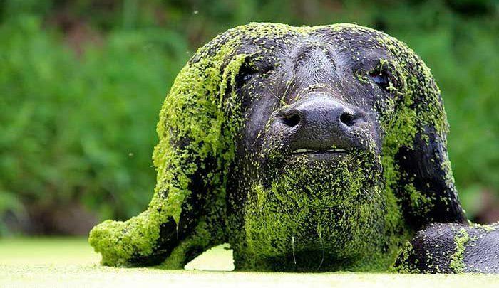 این ها بوفالو هستند با صخره های جلبک گرفته اشتباه نگیرید!، تصاویر