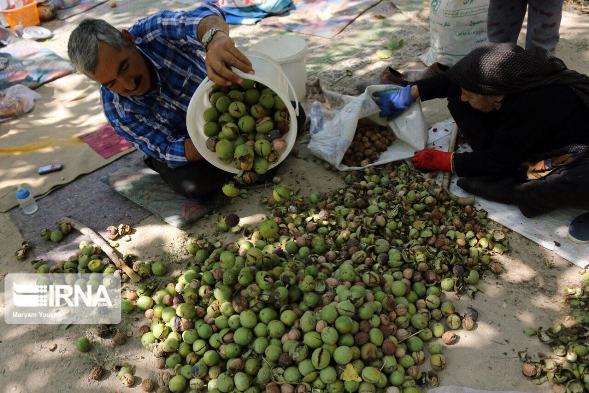 خبرنگاران 16 هزار تن گردوی خشک در کرمانشاه تولید می شود